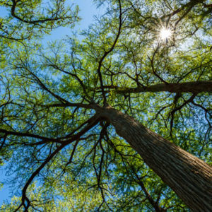 10 Fascinating Facts About Austin's Trees