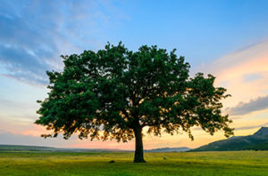10 Signs Of A Stressed Oak Tree In Fort Worth