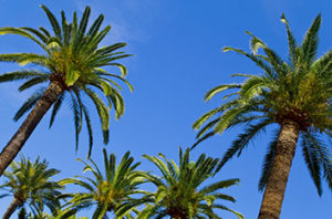10 Types Of Palm Trees In Houston, Texas