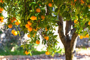 Best Citrus Trees In Houston