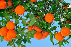 Best Orange Trees For Houston