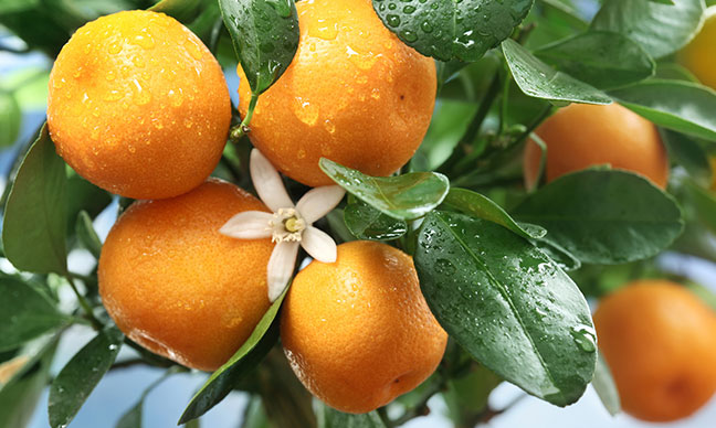 Can_you_grow_citrus_trees_in_Houston_