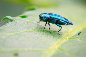 Emerald Ash Borer In Dallas Trees - Causes And Treatment