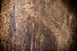 Signs And How To Treat Wood Borers In Trees In Fort Worth