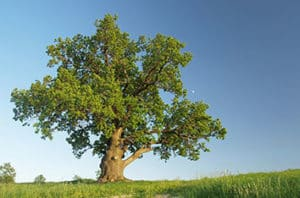 Acute Oak Decline Treatment In Fort Worth