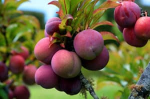 Best Fruit And Nut Trees For Austin