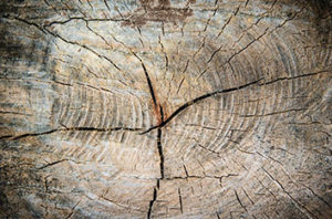 Tree Cracks Are Potential Hazard In Frisco Trees