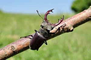 Twig Girdler Beetle Control In Fort Worth