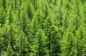 Evergreen Trees For Wichita Falls