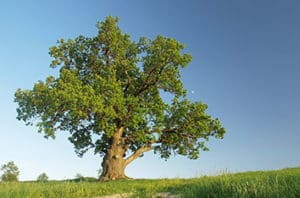 Live Oak Or Shumard Oak For Waco TX?