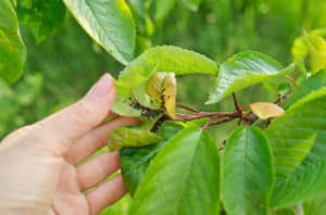 Worst Alvin Tree Pests And Diseases