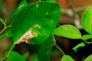 Brownsville Citrus Canker Appearance And Treatment