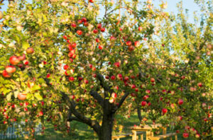 Best Fruit Trees For San Jose