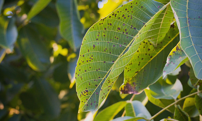 How_do_you_treat_anthracnose_on_ash_trees_