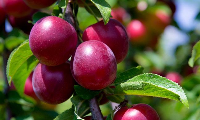 How_tall_does_a_Santa_Rosa_plum_tree_get_