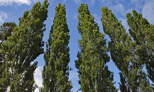 What_are_the_fastest_growing_trees_for_privacy_