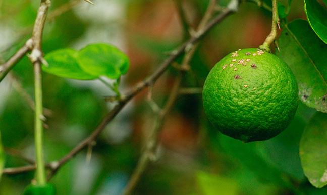 What_does_citrus_greening_disease_look_like_