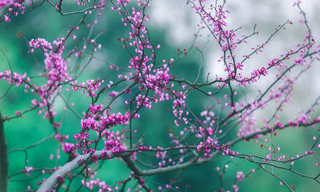 Where_is_the_best_place_to_plant_a_redbud_tree_