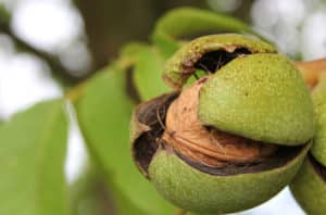 Chandler Walnut Tree Diseases And Pests