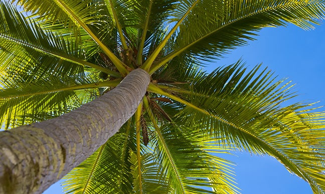How_do_you_bring_a_palm_tree_back_to_life_
