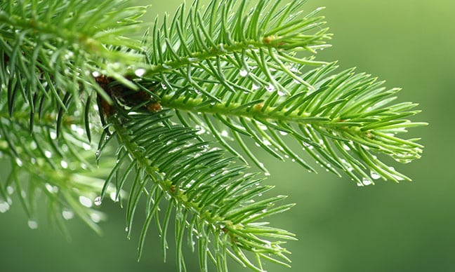What_kind_of_pine_trees_grow_in_California_
