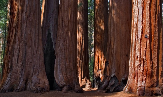 Where_are_the_giant_redwood_trees_in_California_
